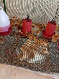 รับจองลูกไก่ พันธุ์โรสไอแลนด์ อายุ 1 เดือน
